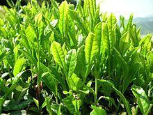 الشاي الأخضر بين الإيجاب والسلبية