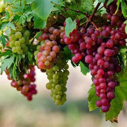 العنب وفوائدة لجسم الانسان
