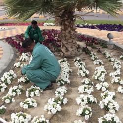 بلدية الخفجي : تهيئة الميادين والشوارع بالمسطحات الخضراء والزهور الموسمية