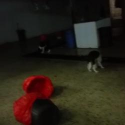 بالفيديو/ كلاب ضالة بمسلخ الخفجي