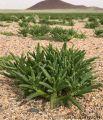 """""""السمح"""" نبتة برية تشتهر بها منطقة الجوف وتنفرد بقيمتها الغذائية"""